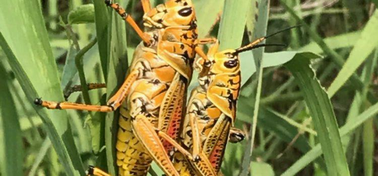 Florida is… Grasshoppers ( Romalea microptera)