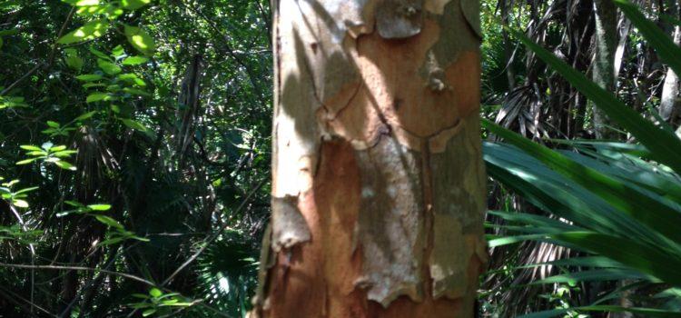 Florida is… Poisonwood (Metopium toxiferum)